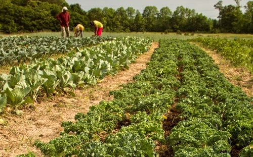Farmers working on Kale Crops