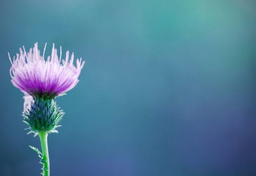 Magic milk thistle