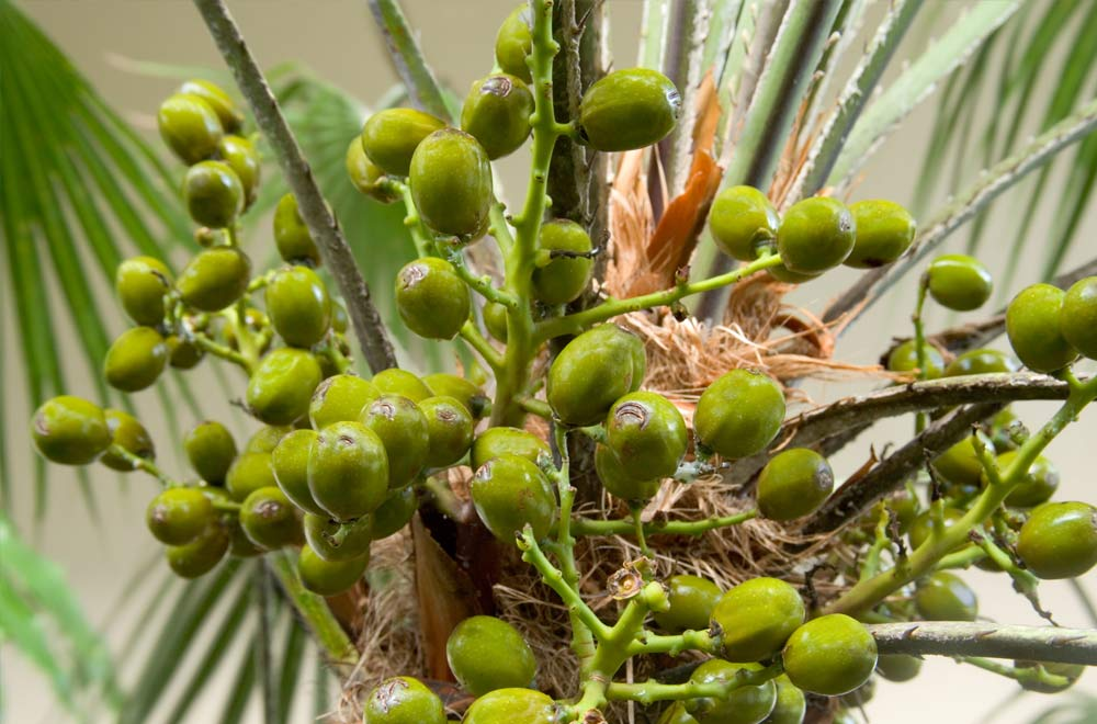How saw palmetto could help prostate health