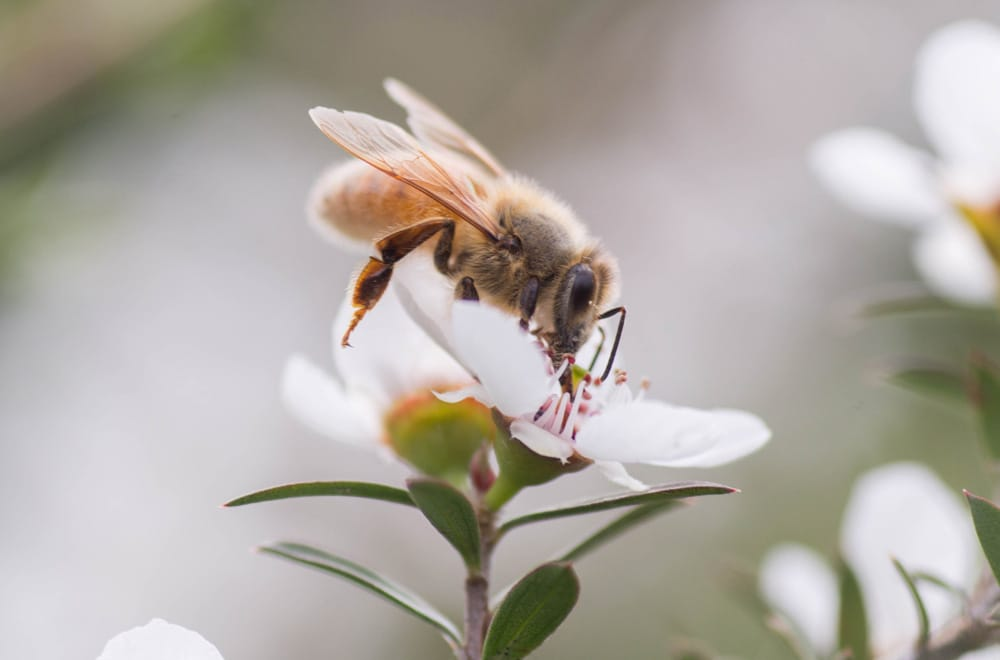 20 incredible facts about Manuka honey