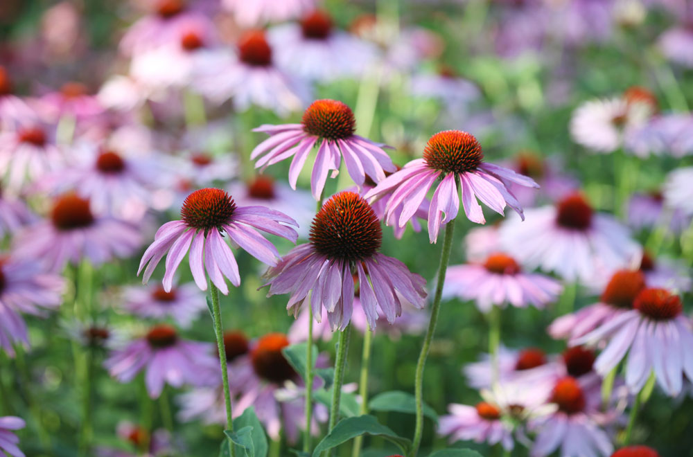 Echinacea:  benefits, dosage, side-effects