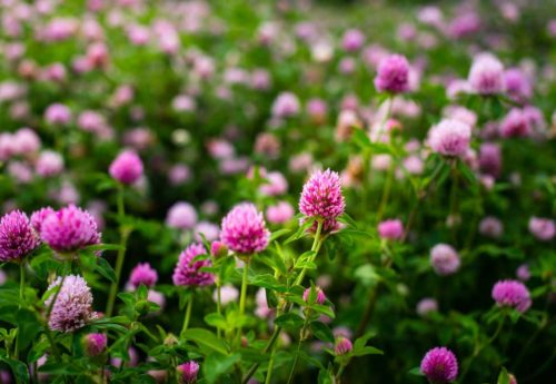 Red clover: overview, benefits, dosage, side effects