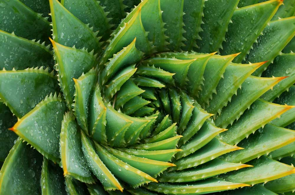 Aloe vera: benefits, dosage, side-effects