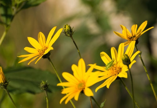 Arnica: overview, benefits, dosage, side effects