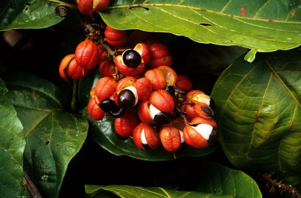 what are the side effects of guarana