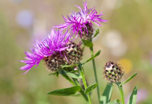 Milk thistle: benefits, dosage, side-effects