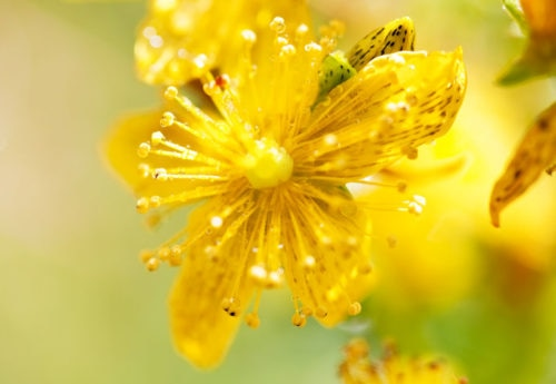 St John's wort: benefits, dosage, side-effects