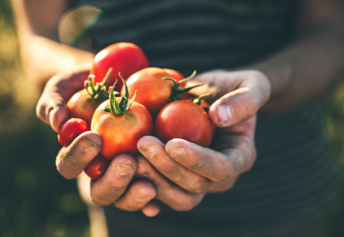 hands holding fresh tomatoes