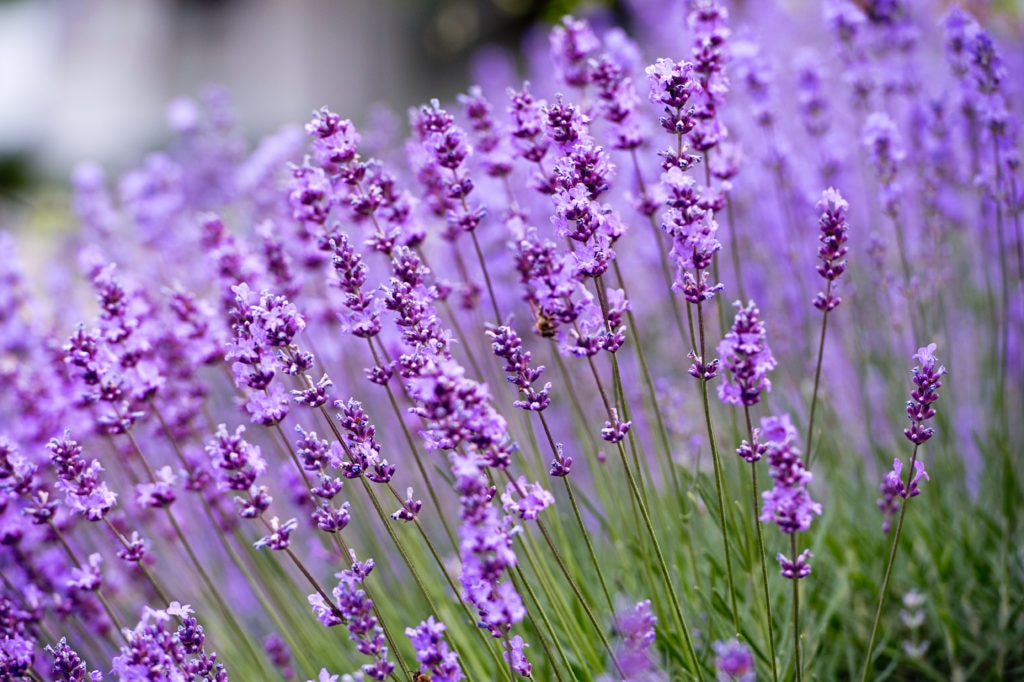 Lavender oil: Benefits, uses and dosage