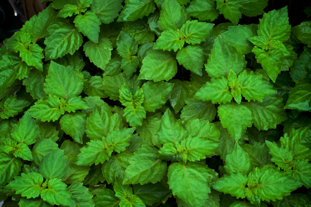 What is patchouli?